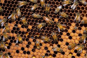 alvéole de ruche et ses abeilles - reine