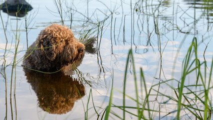 Dog standing in lake and reflection. Dog breed: Lagotto Romagnolo. Location Finland.