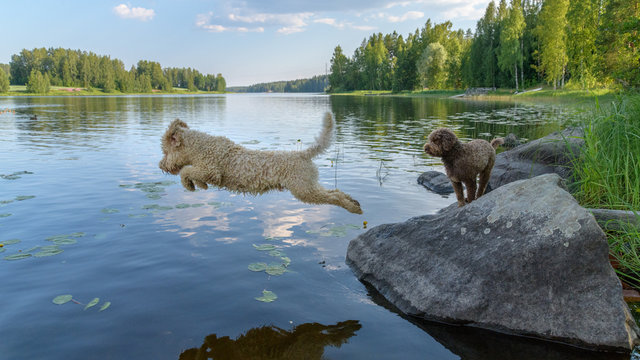 Dog jumping into lake. Dog Breed: Lagotto Romagnolo. Location Finland.