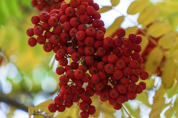 Rowan in early autumn.