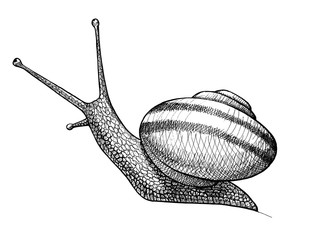 snail, ink hand drawn vintage illustration