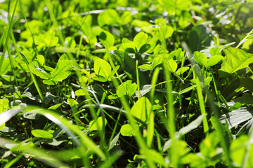 Green clover growing in wilderness on sunny day