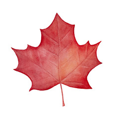 Red maple leaf illustration. Beautiful detail and autumn seasonal decoration. National symbol of Canada and Canadian flag element. Hand painted graphic water color art on white background, cutout.