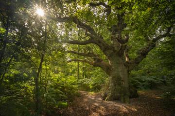Uralter, knorriger Baum auf der Insel Vilm bei Rügen