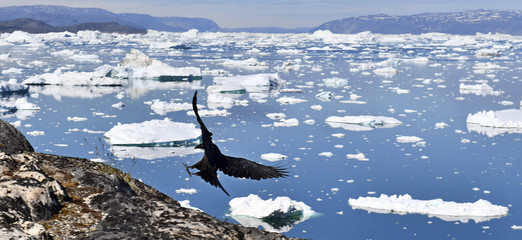 Raven and icebergs. Icebergs are on the arctic ocean in ilulissat icefjord. Nature and landscapes of Greenland.