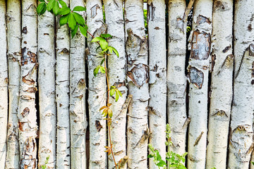 texture of birch logs