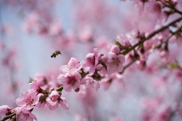 The hard-working bee collects honey on pink peach blossoms on a warm spring day.