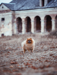 Pomeranian dog outdoor.Portrait of beautiful pomeranian dog. Dog print