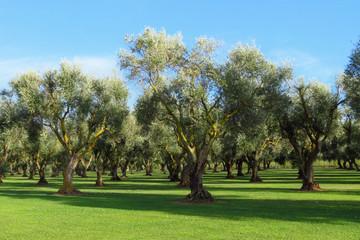 Orchard of olive trees in Santa Maria La Palma, Sardinia, Italy