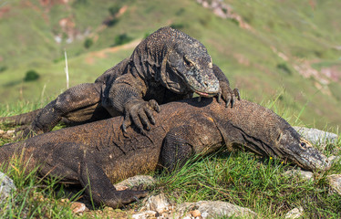 Fight of Komodo dragons for domination. Natural habitat. Scientific name: Varanus komodoensis. Natural background is Landscape of Island Rinca. Indonesia.