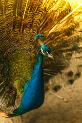 Beautiful majestic male peacock with blue head