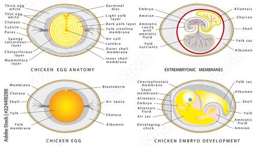 Chicken egg anatomy\