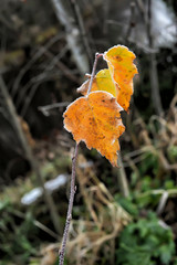 yellow autumn leaves on a branch, covered with hoarfrost