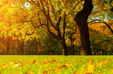 Fall picturesque landscape. Fall trees with yellowed foliage in sunny October park lit by sunlight