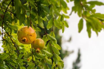 Granatapfel am Ast, Nahaufnahme