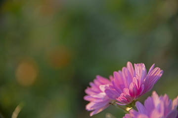 the natural background -  chrysanthemum on green