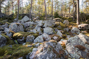 Autumn pine forest with large stones covered with moss at sunny day.