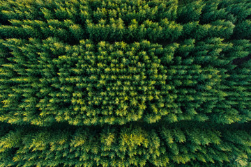 Aerial view of green coniferous forest plantations