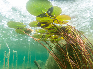 Keuken foto achterwand Waterlelies Water lily floating leaves underwater