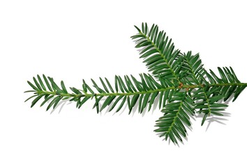 Branch of a Christmas tree for New year isolated on white background.