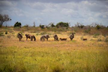 Zebra in Tsavo East National Park Kenya, Afrika, Herde