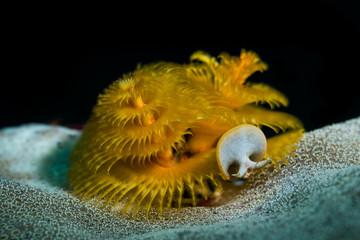 Yellow Christmas Tree Worm
