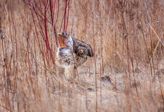 Red Tailed Hawk in a meadow after a successful hunt
