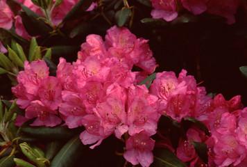 Rhododendron Wildflower (Rhododendron Ferrugineum)