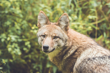 Coyote (Canis latrans) peers through thick green forest canopy in early fall, vintage garden setting