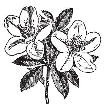 Azalea vintage illustration.