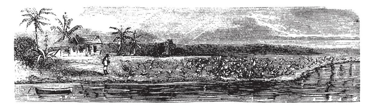 Pineapple Field, vintage illustration.