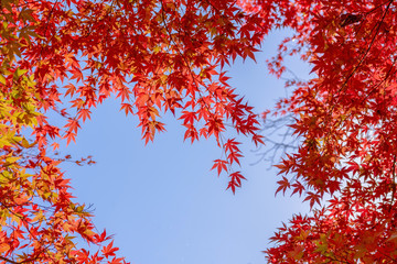 Red maple leaves in autumn season with blu sky