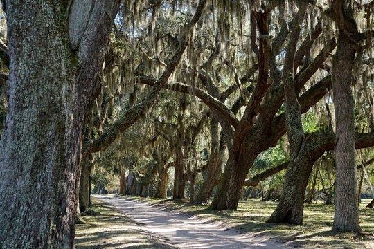 Cumberland Island, Georgia, USA: Southern live oaks (Quercus virginiana) draped with strands of Spanish moss (Tillandsia usneoides).