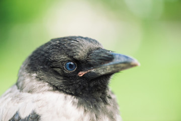 Head of young crow on green background. Portrait of raven close up. Urban bird.