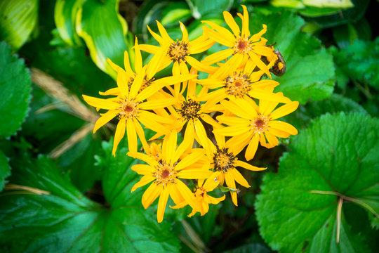 Flower Ligularia dentata orthello. Shallow depth of field.