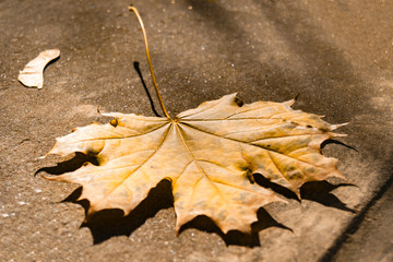 Fallen autumn yellow maple leaf with a blurred background.