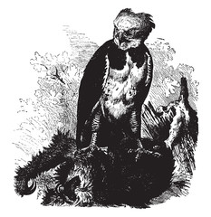 Photo sur Toile Art Studio Harpy Eagle, vintage illustration.