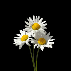 Three daisy flowers with white petals and yellow center on a green stems on black background close up isolated macro