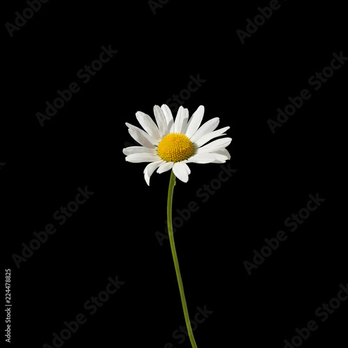 One Daisy Flower With White Petals And Yellow Center On A Green Stem