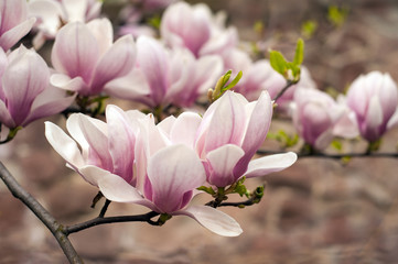 Close-up view of pink blooming magnolia. Beautiful spring bloom for magnolia tulip trees pink flowers.