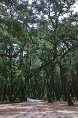 松の木、虹ノ松原唐津市佐賀県、日本