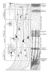 Minute Structure of Cerebral Cortex, vintage illustration