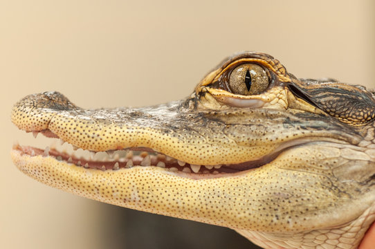 Common Caiman Closeup