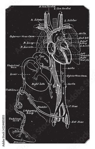 Diagram Of Fetal Circulation Vintage Illustration Stock Image And