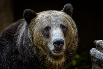 Closeup portrait of a male grizzly bear