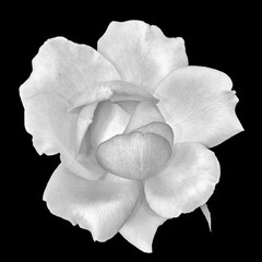 Fine art still life monochrome black and white flower top view macro portrait of a wide open blooming rose blossom with detailed texture on black background