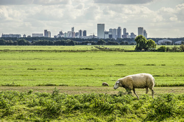 Fotobehang Noord Europa Sheep walking on a dike in a polder just north of Rotterdam, The Netherlands with the city's skyline in the distance