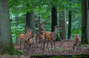Red Deer in fall Germany