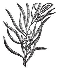 Eucalyptus vintage illustration.