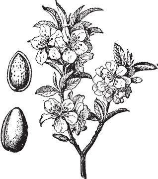 Almond Tree and Fruit vintage illustration.